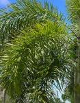 palmeira-rabo-de-raposa (14)