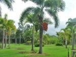 palmeira-rabo-de-raposa (15)