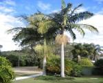 palmeira-real-australiana (13)