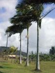 palmeira-real-australiana (14)