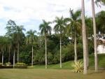 palmeira-real-porto-riquenha (06)