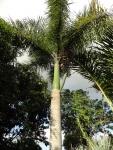 palmeira-real-porto-riquenha (07)