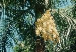 palmeira-real-porto-riquenha (10)
