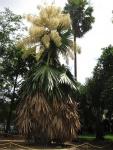 palmeira-talipot (02)