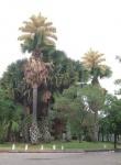 palmeira-talipot (07)