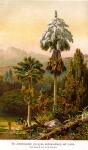 palmeira-talipot (12)