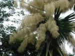 palmeira-talipot (15)