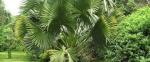 palmeira-talipot (16)