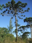 Araucaria angustifolia (1)