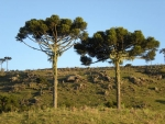 Araucaria angustifolia (4)