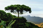 Araucaria angustifolia (5)