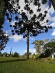 Araucaria angustifolia (8)