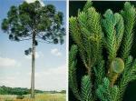Araucaria angustifolia (9)