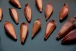 Araucaria angustifolia (13)