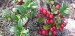 mirtilo-vermelho (09)