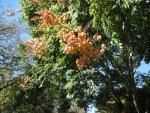 árvore-camarão (6)