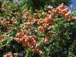 árvore-camarão (8)