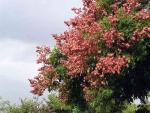 árvore-camarão (10)