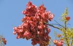 árvore-camarão (12)