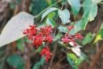 clerodendro-vermelho (90)