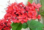 clerodendro-vermelho (91)