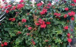 clerodendro-vermelho (92)