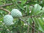 fruta-do-conde (93)