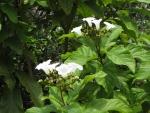 babosa-branca (6)