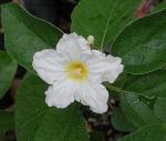 babosa-branca (12)