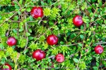 cranberry (02)