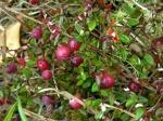 cranberry (03)