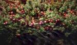 cranberry (04)