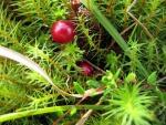 cranberry (05)
