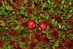 cranberry (06)