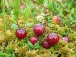 cranberry (07)