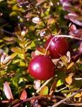 cranberry (09)