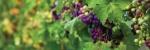 uva (93)