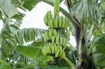banana (03)