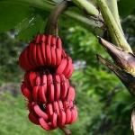 banana (06)