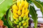 banana (92)
