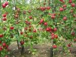 maçã (01)