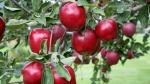 maçã (02)