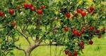 maçã (03)