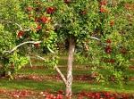maçã (05)