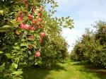maçã (06)
