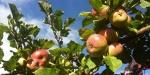 maçã (07)