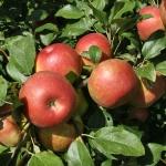 maçã (09)