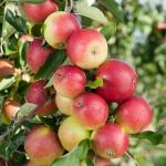 maçã (90)