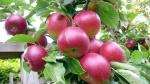 maçã (91)