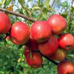 maçã (92)